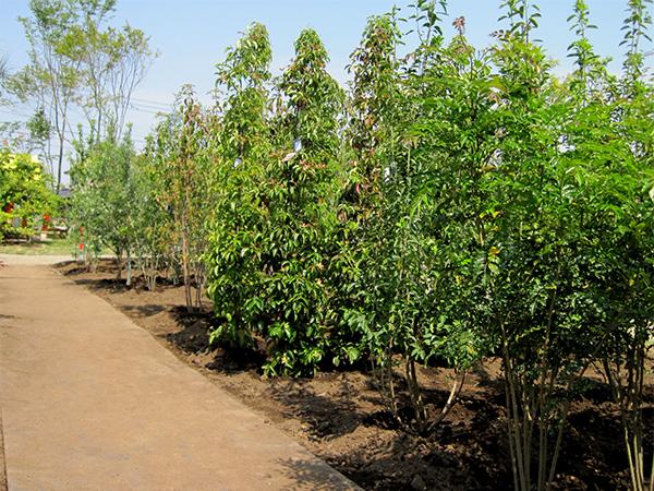 8月中は植木全品20%オフ!