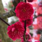 「梅」「桃」「桜」の違い