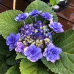 梅雨を楽しませる紫陽花
