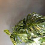 お家の中でもグリーンを 人気の観葉植物