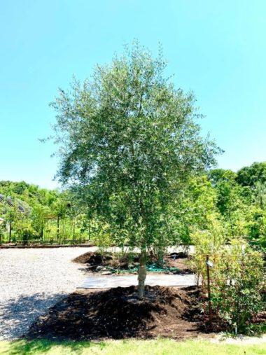 洋風のお庭に人気!オリーブの木