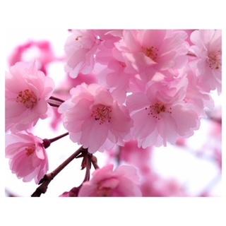 春の風物詩!桜の木の魅力
